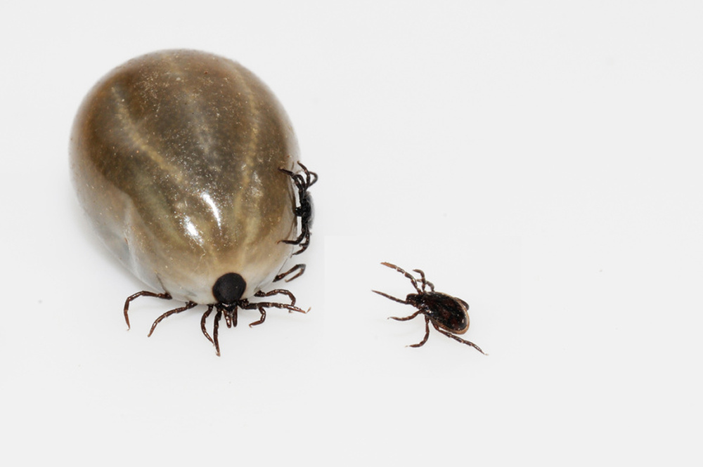 Humans Cat Fleas